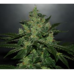 Auto Seeds - Critical Jack Herer