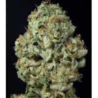 Auto Seeds - Dinamex