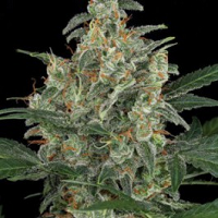 Auto Seeds - G Power Cheese
