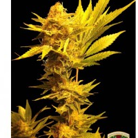 Auto Seeds - Jack Golden Auto