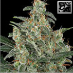 Auto Seeds - Kabrales