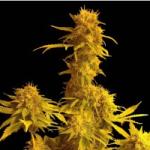 Auto Seeds - Kalaminoff