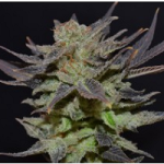 Auto Seeds - Lavender