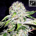 Auto Seeds - Northern Automatic