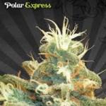 Auto Seeds - Polar Express