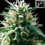 Auto Seeds - Sweety Automatic