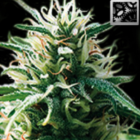 Auto Seeds - Sweey Automatic