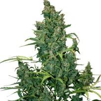 Auto Seeds - Tundra #2