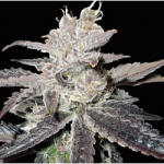 Auto Seeds - Freeze Berry