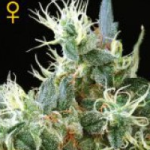 Auto Seeds - NL Automatic Seeds