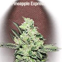 Auto Seeds - Pineapple Express Fast Buds Seeds