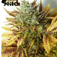 Auto Seeds - Purple Sirius Kush