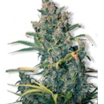Auto Seeds - Tundra