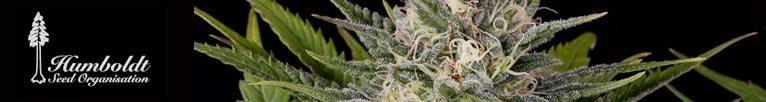 Buy Humbolt Seeds Online