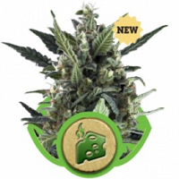 Auto Seeds - Blue Cheese Seeds