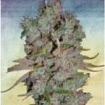 Auto Seeds - Blueberry Domina