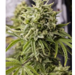 Auto Seeds - Bubba Kush Seeds