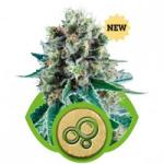 Auto Seeds - Bubble Kush
