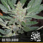 Auto Seeds - Dr Feelgood