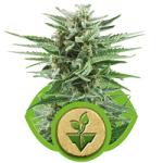 Auto Seeds - Easy Bud