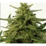 Auto Seeds - Northern Haze Express