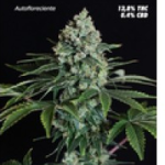 Auto Seeds - Speed Haze