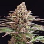 Auto Seeds - Stuporsonic