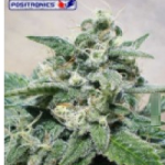 Auto Seeds - SuperCheese Express