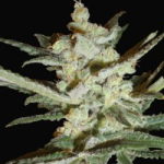 Auto Seeds - Supersonic Cristal Storm