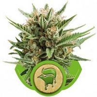Auto Seeds - Sweet Skunk