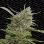 Auto Seeds - White Berry