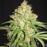 Auto Seeds - White Russian Seeds