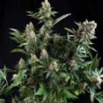 Auto Seeds - White Widow
