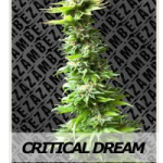 Auto Seeds - Critical Dream