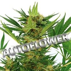 Buy AK-47 Autoflowering Seeds
