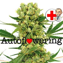 Buy Amnesia Haze Autoflower Seeds