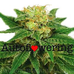 Buy Northern Lights Autoflower Seeds