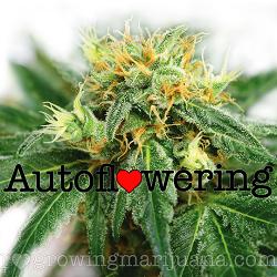 Buy Super Skunk Autoflower Seeds