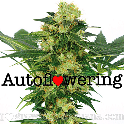 Buy White Widow Autoflower Seeds