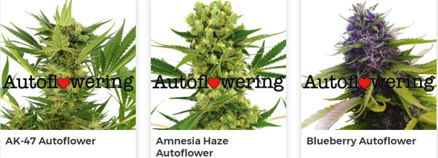 Buy Autoflowering Marijuana Seeds in Humboldt County