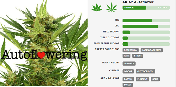 Learn More About AK 47 Autoflowering Seeds