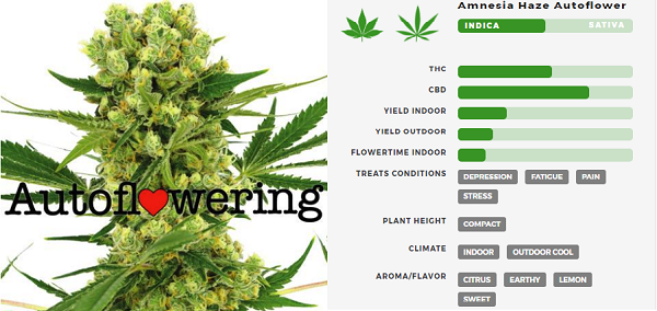 Learn More About Amnesia Haze Autoflowering Seeds