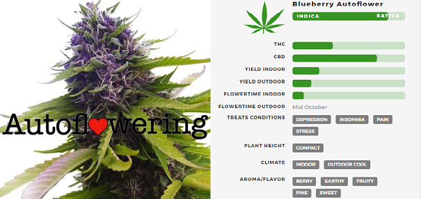 Learn More About Blueberry Autoflowering Seeds