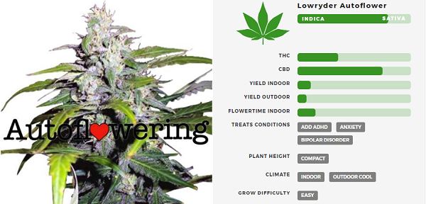 Learn More About Lowryder Autoflowering Seeds
