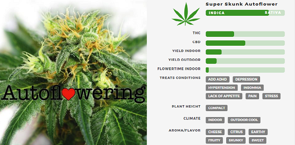 Learn More About Super Skunk Autoflowering Seeds