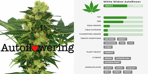 Learn More About White Widow Autoflowering Seeds