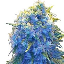 Blue Haze Feminized Seeds