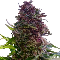 Grand Daddy Purple Feminized Seeds
