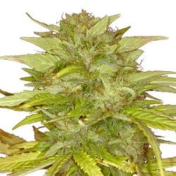 Orange Bud Feminized Seeds