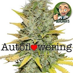 Buy Gold Leaf Auto Seeds